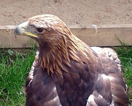 York Bird of Prey Centre: 'Shadow' - Golden Eagle
