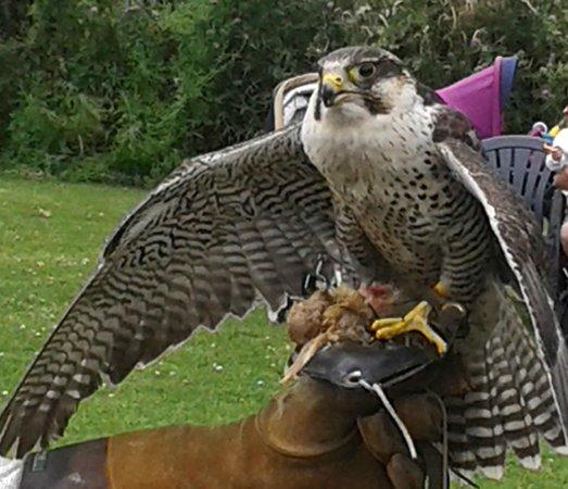 York Bird of Prey Centre: Peregrine Falcon