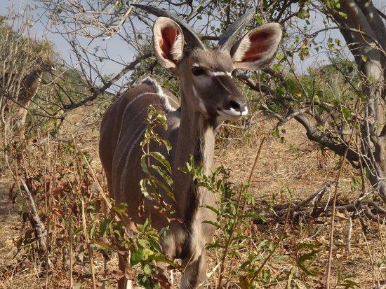 Chobe Marina Lodge: lady Kudu