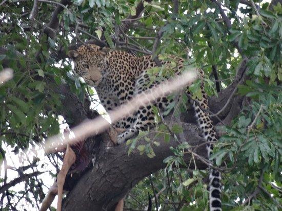 Chobe Marina Lodge: Leopard in tree