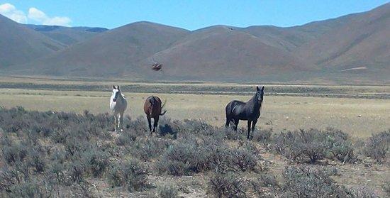 Northgate Inn: wild horses 10 miles south of challis
