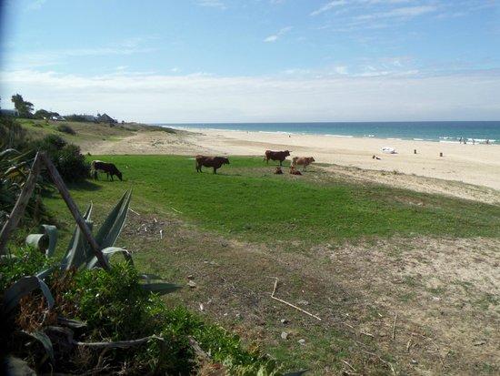 Hostal La Hormiga Voladora: Vacas pastando con vistas al Océano Atlántico, Playa de Bolonia