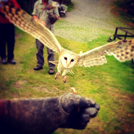 Falconry Experience Wales: Beautiful barn owl
