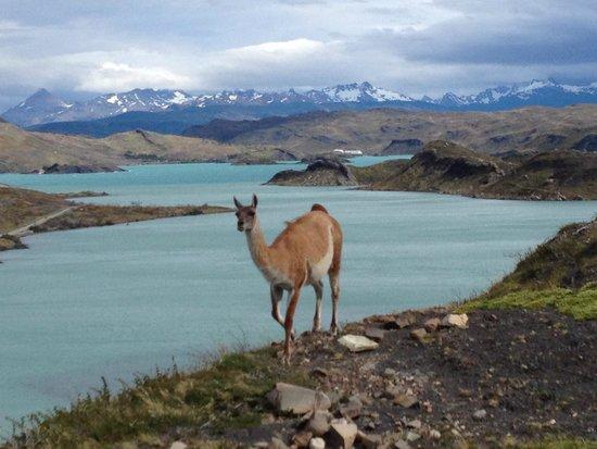 """Hotel del Paine: Vicunha em seu meio natural, cliquei na hora """"h""""."""