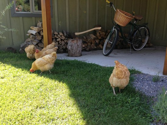 AWAY in the County : Chickens!