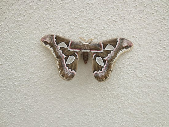 Grand Sirenis Matlali Hills Resort & Spa: Jungle Moth
