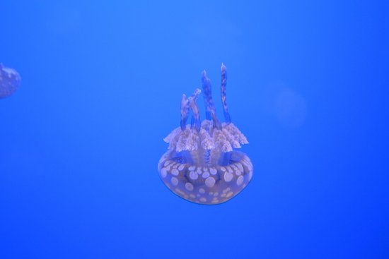 Ripley's Aquarium of the Smokies: Jellyfish