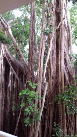 Hilton Key Largo Resort: Strangler Fig Tree