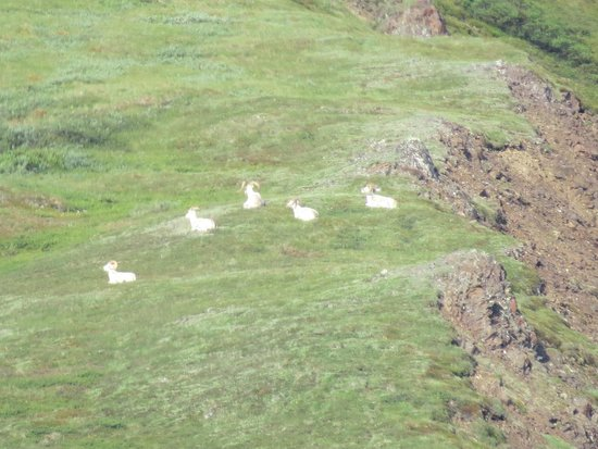 more sheep specks with superzoom camera - Picture of Denali National