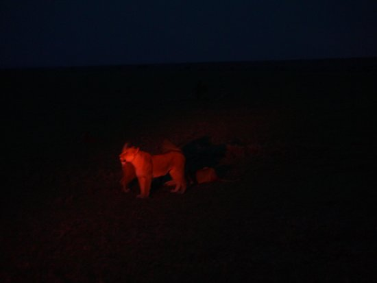 Porini Mara Camp: Lions on the night drive in Ol Kinyei