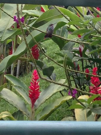 Arenal Observatory Lodge & Spa : Hummingbirds visit outside the dining room window
