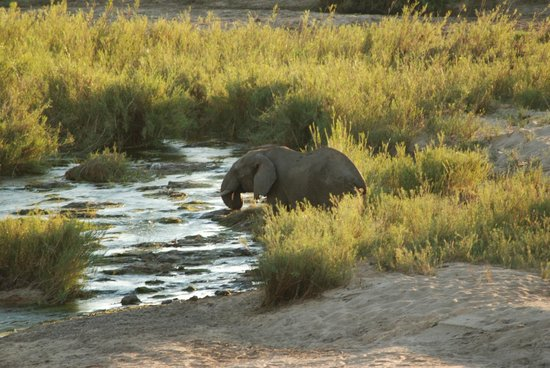 Ngwenya Lodge : Elephant coming to drink