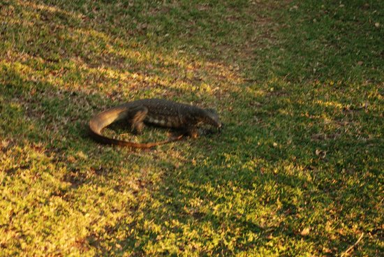Ngwenya Lodge : Monitor Lizard on property