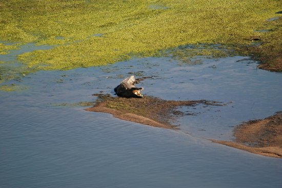 Ngwenya Lodge : Croc on the river bank