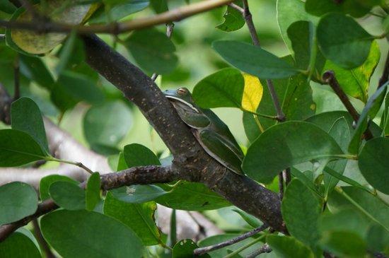 Bruce Belcher's Daintree River Cruises: Green Tree Frog