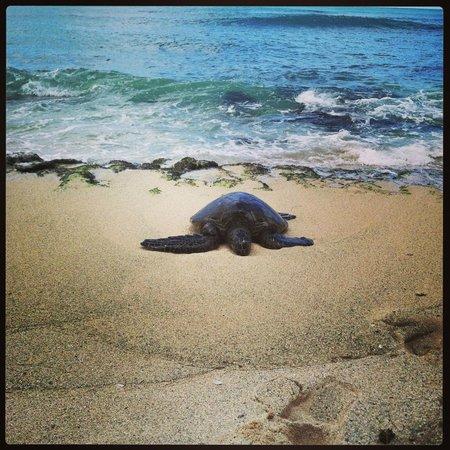 Turtle Bay Resort : Turtles on the Resort Property