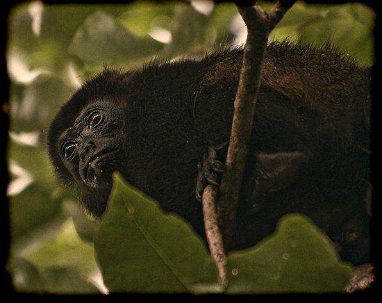 Hotel Playa Negra: Howler monkeys in the mango trees