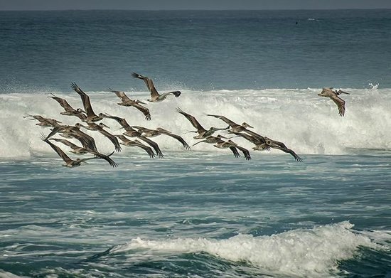 Hotel Playa Negra: And more pelicans...