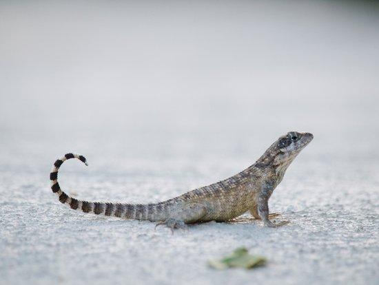 Cayman Brac Beach Resort: Small lizards can be seen throughout the property