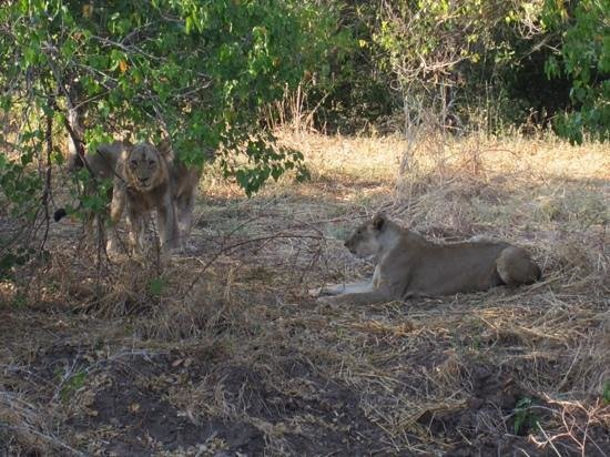 Imbabala Zambezi Safari Lodge : imbabala lions