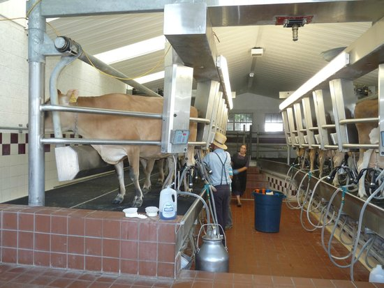 New Holland, PA: milking the cows that will used to make ice cream
