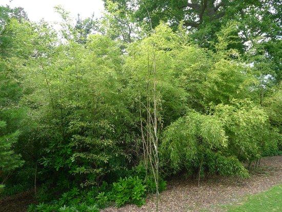 Sheffield Park and Garden: Black bamboo grove