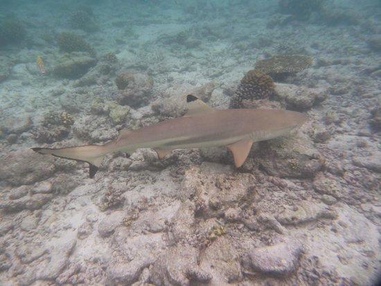 Biyadhoo Island Resort: Black Tipped Reef Shark