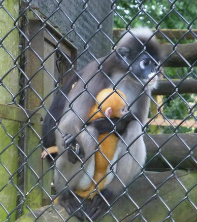 Howletts Wild Animal Park: De Brazza's Monkey, Mother and Child