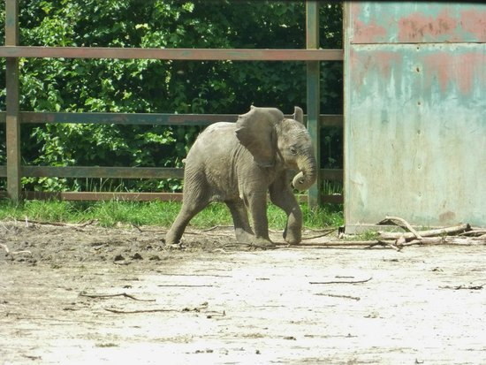 Howletts Wild Animal Park: 2 month old baby elephant