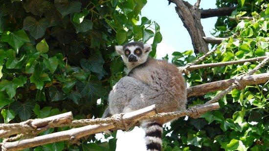 Prager Zoo: Лемур