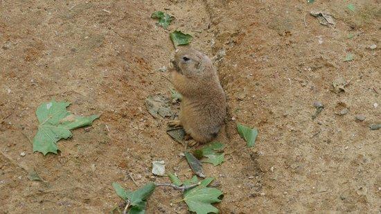 Prager Zoo: Луговая собачка