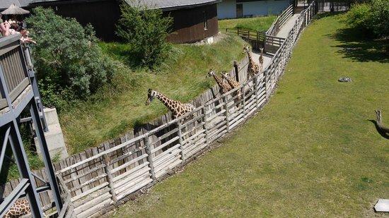Prager Zoo: Жирафы