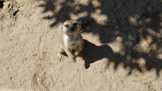 Prager Zoo: Сурикат