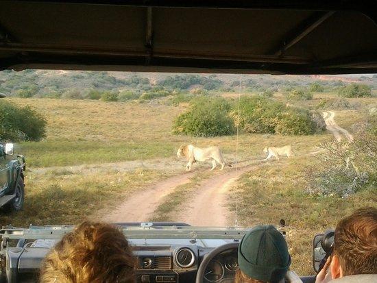 Amakhala Safari Lodge: Yay - we saw the lions!