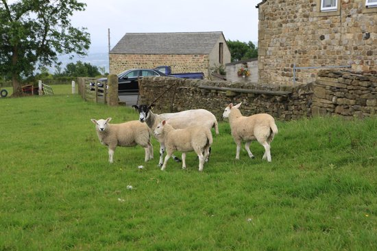 Pickersgill Manor Farm Bed and Breakfast: sheeps