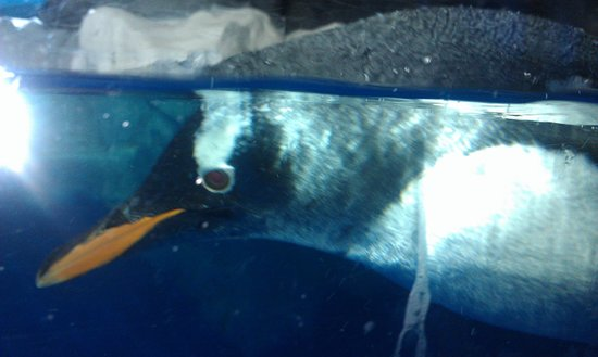 Kelly Tarlton's Sea Life Aquarium: 泳ぐペンギン