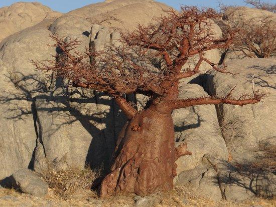 Kubu Island: Baobab