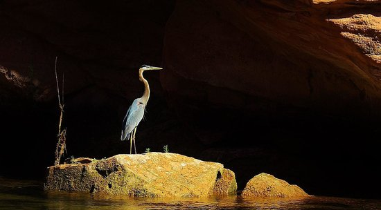 Colorado River Discovery : Blue Herons