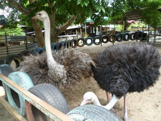 Desaru Ostrich Farm: Adult bird