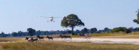 Zebras on Shinde runway