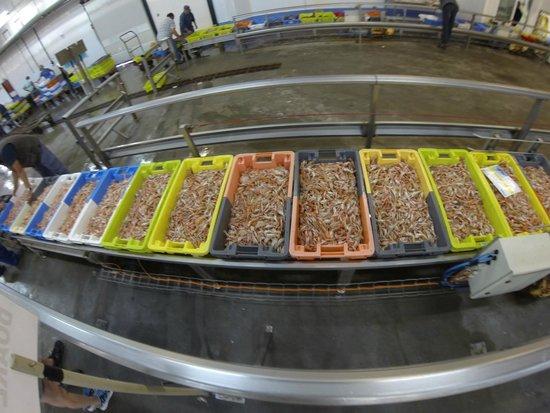 Haliotika - La Cité de la Pêche : les langoustines arrivant avant la  criée