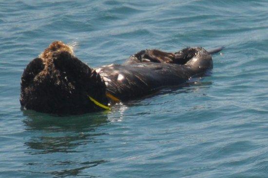 Morro Rock: Sea Otters