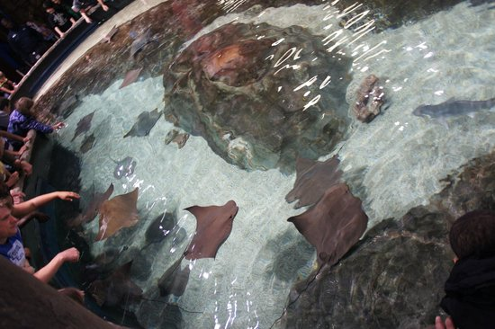 Georgia Aquarium: Ray tank