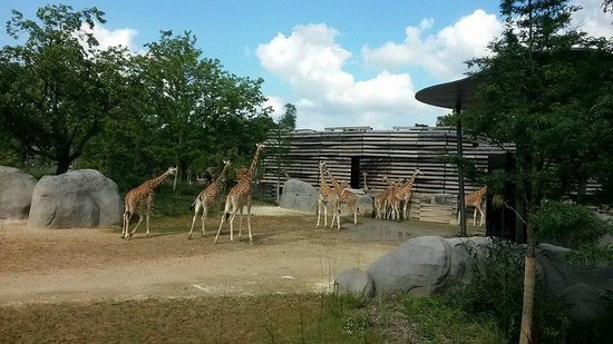 Parc Zoologique de Paris: Girafes