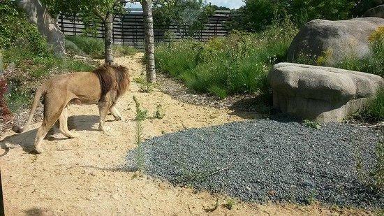 Parc Zoologique de Paris: Lion