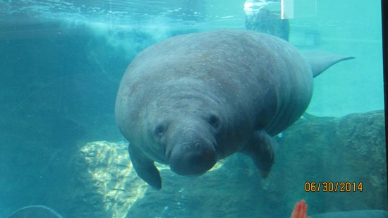 Mote Marine Laboratory and Aquarium : Manatees rule!