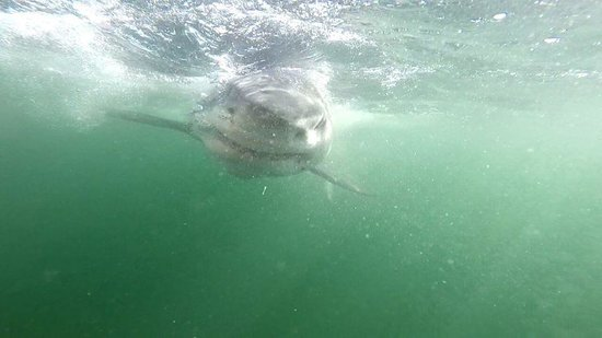 Great White Shark Tours: 'Humans are our friends'