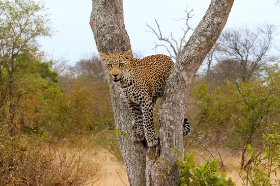 Simbavati River Lodge: Male Leopard