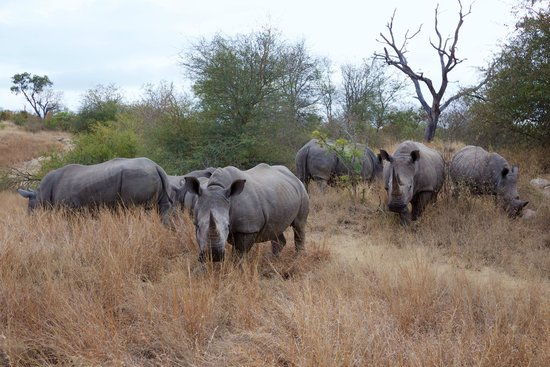 Simbavati River Lodge: Seven white rhinos