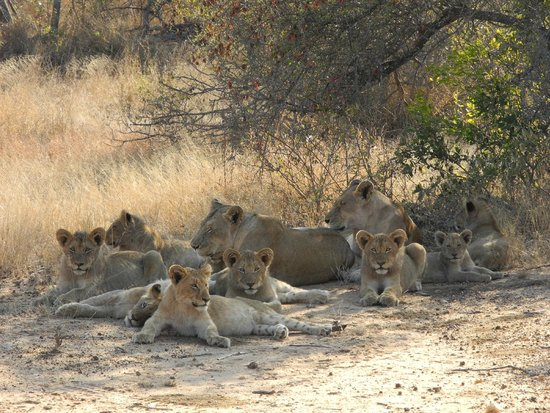 Pondoro Game Lodge: Lioness with cubs